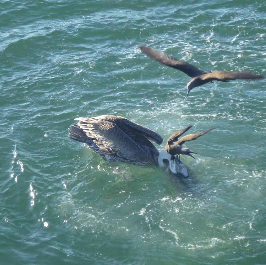 Noddies fighting over a pelican