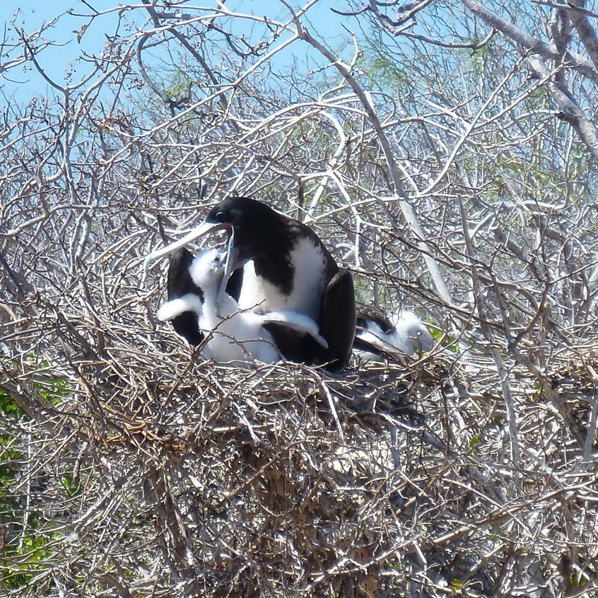 Frigatebird nest