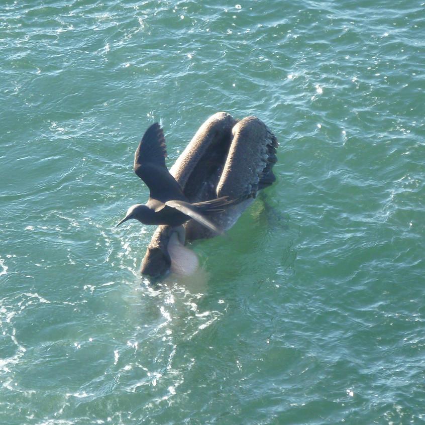 Pelican with brown noddy