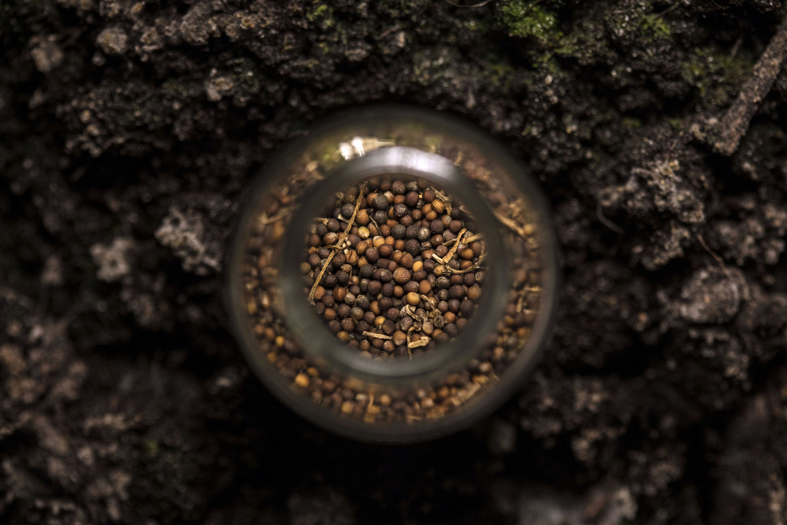 Graine de Chou Kale