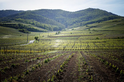 Balade touristique à l'automne dans les vignes à Wettolsheim 68920, route des vins. Reproduction interdite - 2020