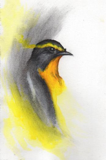 Narcissus Flycatcher study