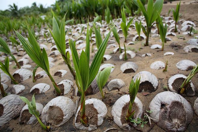 Coconut seeding
