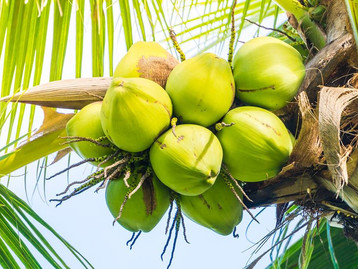 Different Between Young and Matured Coconut
