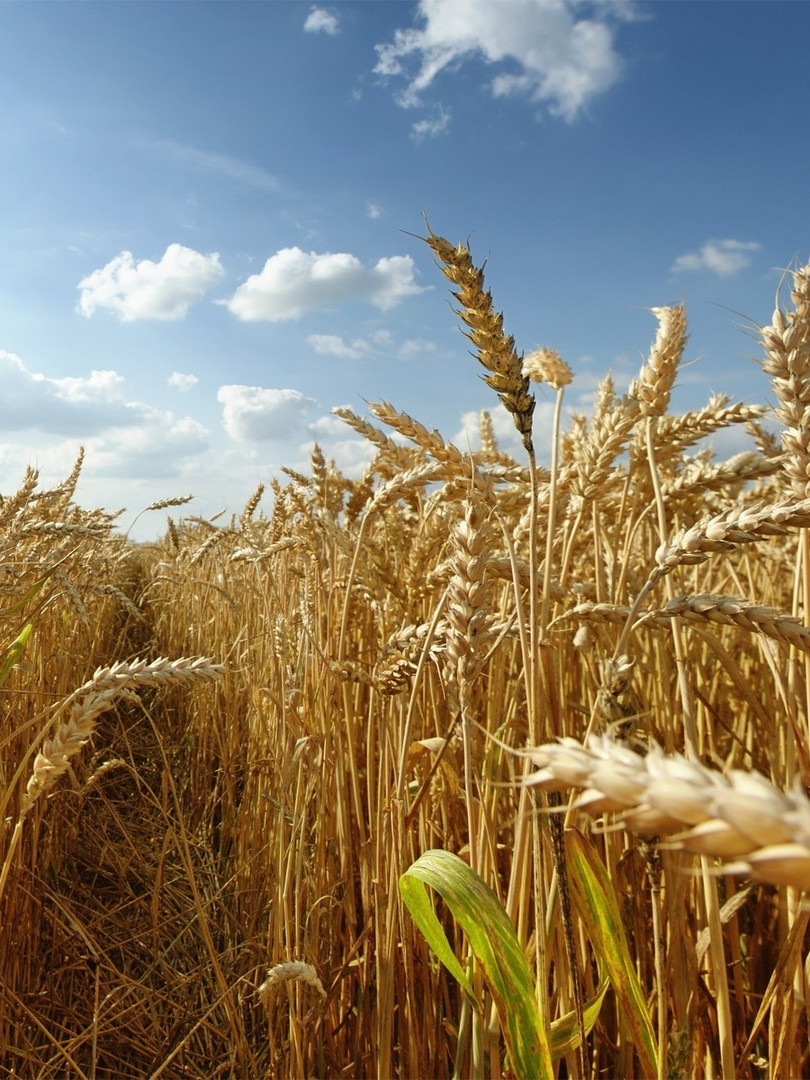 16660-wheat-field-1920x1200-photography-