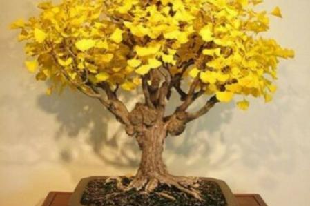 20 Ginkgo Biloba (Maidenhair Tree) Seeds