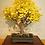 Thumbnail: 20 Ginkgo Biloba (Maidenhair Tree) Seeds