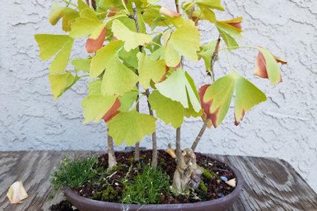 Gingko Tree Saplings