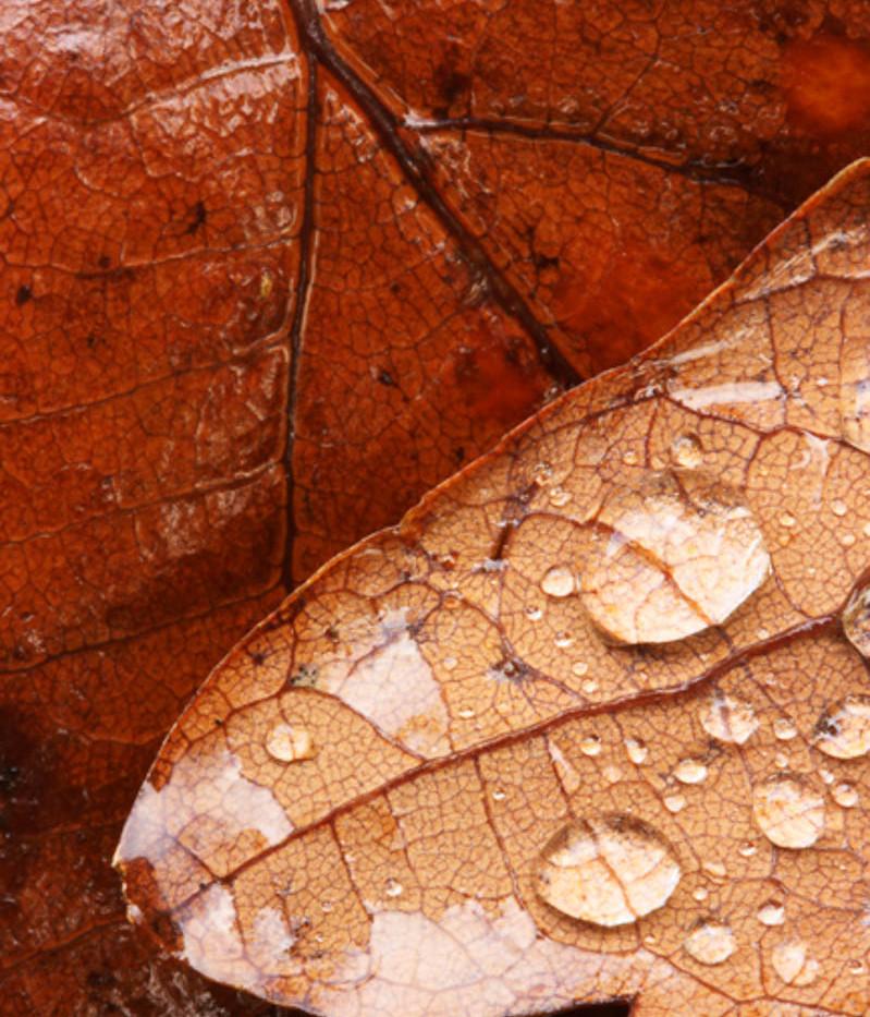 24_brown oak leaf.jpg