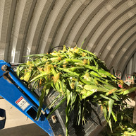 Green corn ready for the tradional pit.