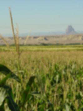 Corn grown on the Bee Sezi farm, Shiprock on the horizon