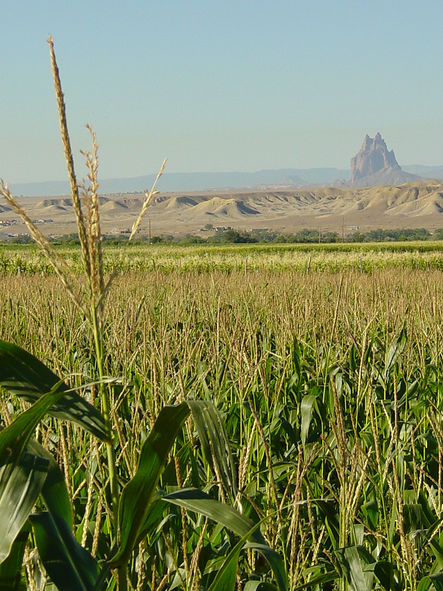 Corn grown on the Bee Sezi farm, Shiprock on the horizon