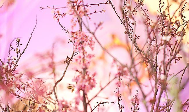 pretty pink branches.JPG