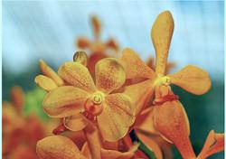 vanda orchids_edited.jpg