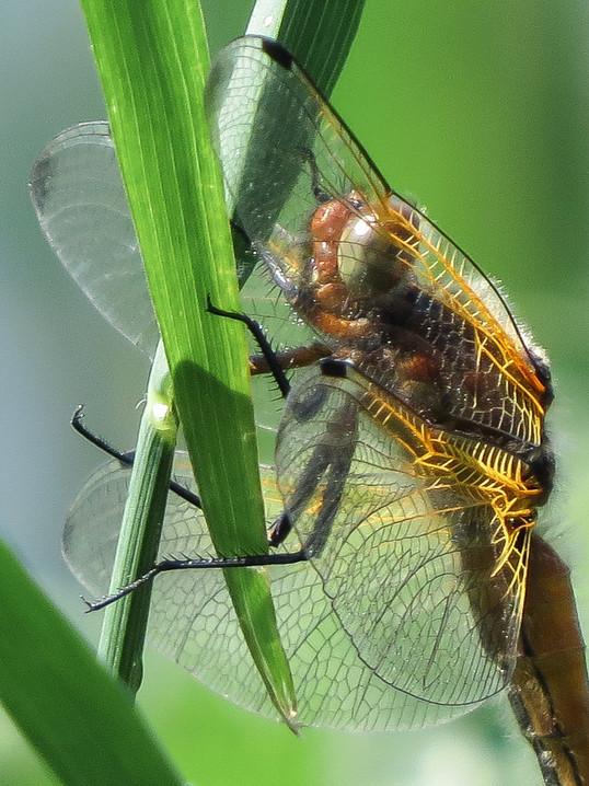 Eye eye dragonfly
