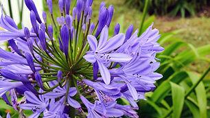 Agapanthus azul.jpg