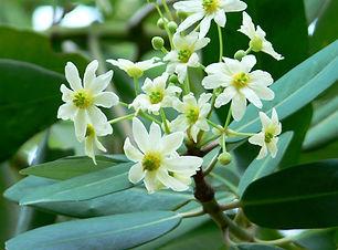 Flor canelo.jpg