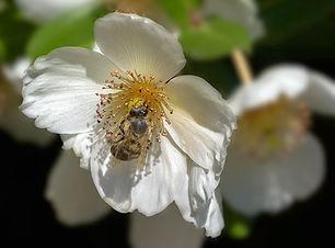 Ulmo flor.jpg