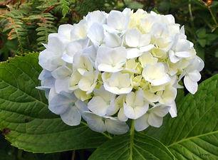 Hortensia Blanca.jpg