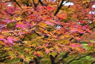 Acer-japonico.png