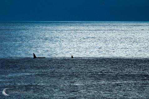 Schwertwale im Abendlicht