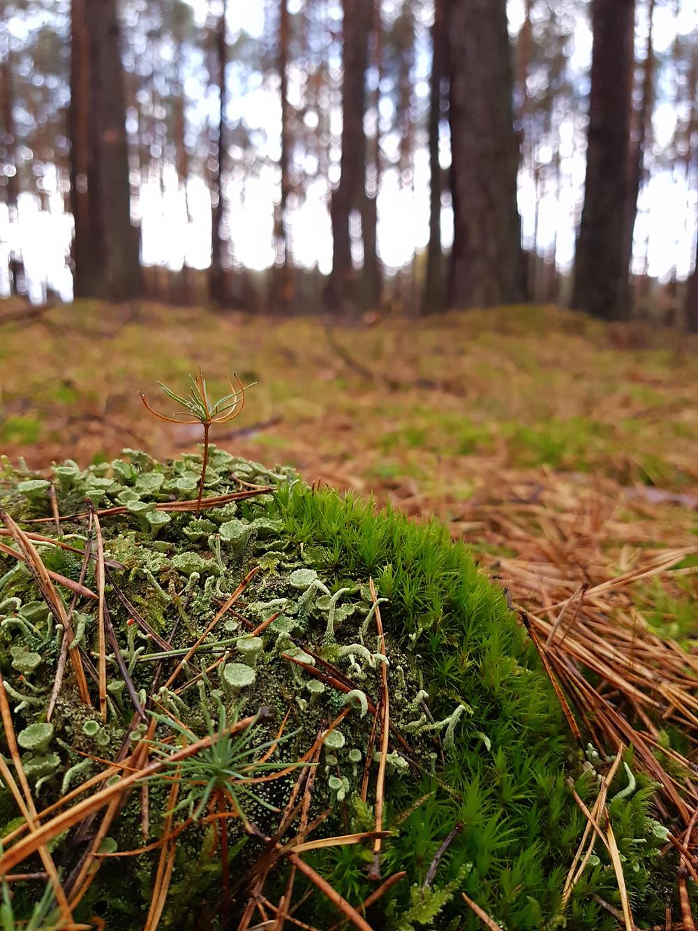 porosty w lesie