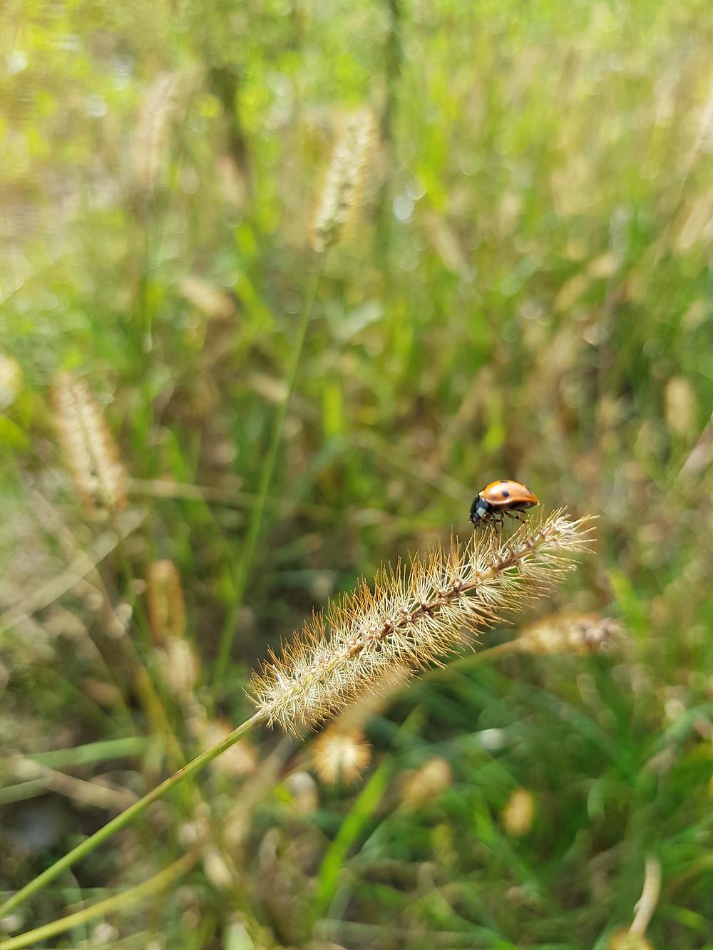 biedronka na trawie