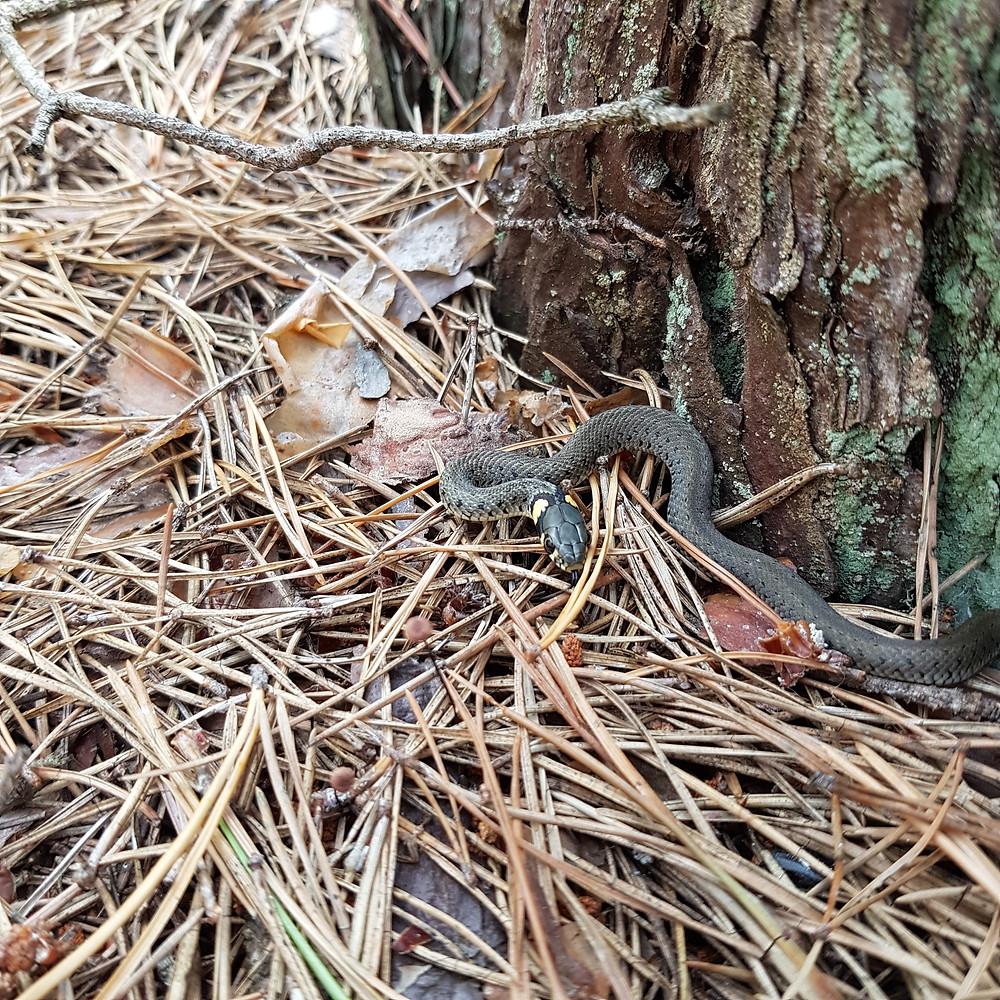 zaskroniec w lesie