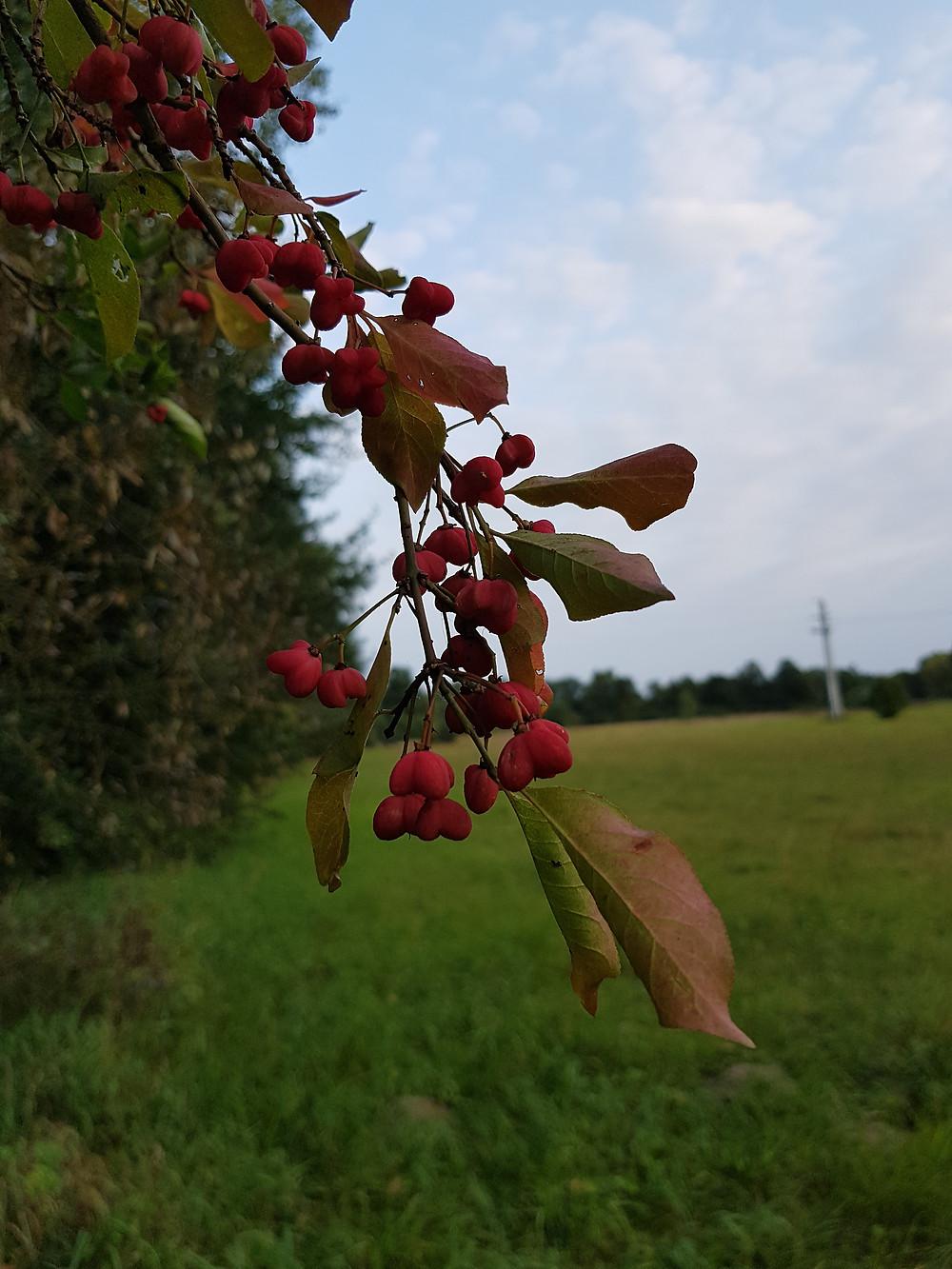 owoce trzmieliny
