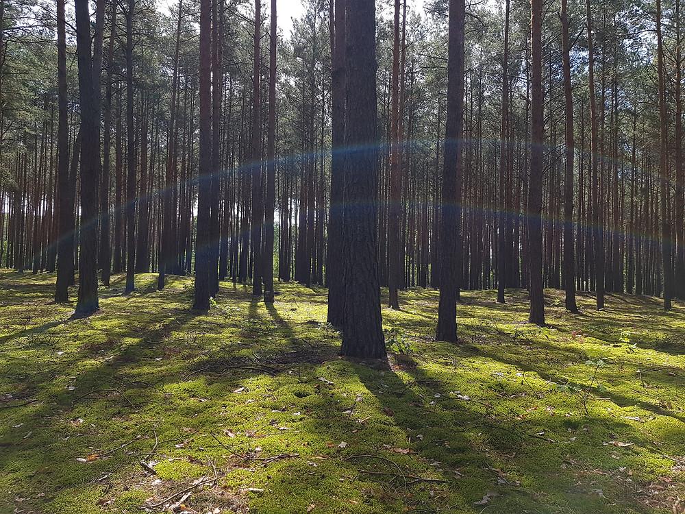 sierpniowy las
