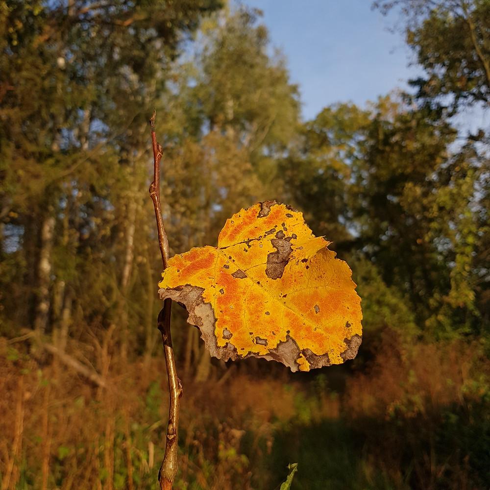 żółty jesienny liść
