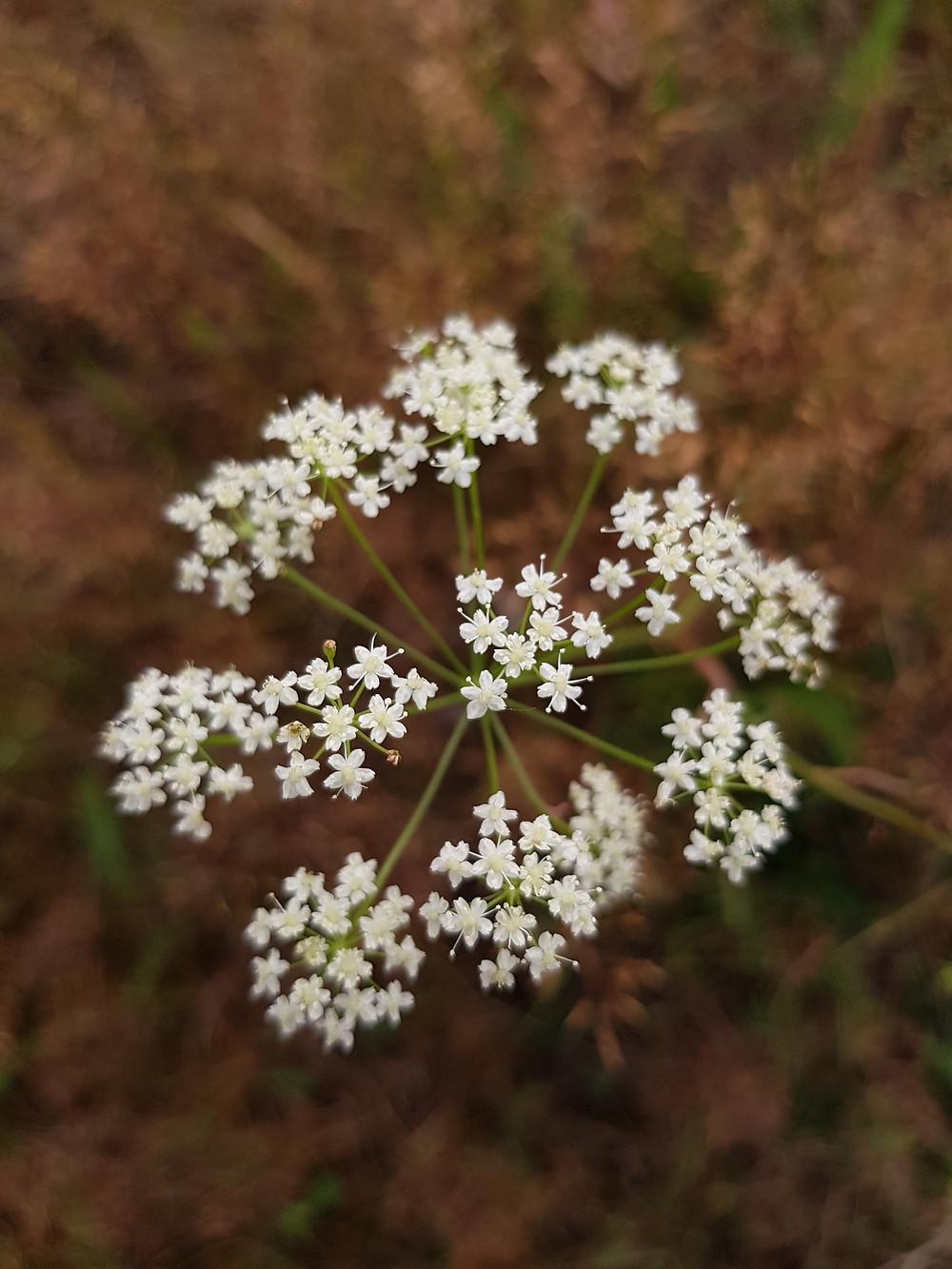 kwiat dzikiej marchwi