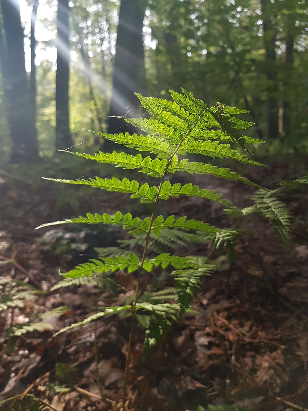 paproć w lesie