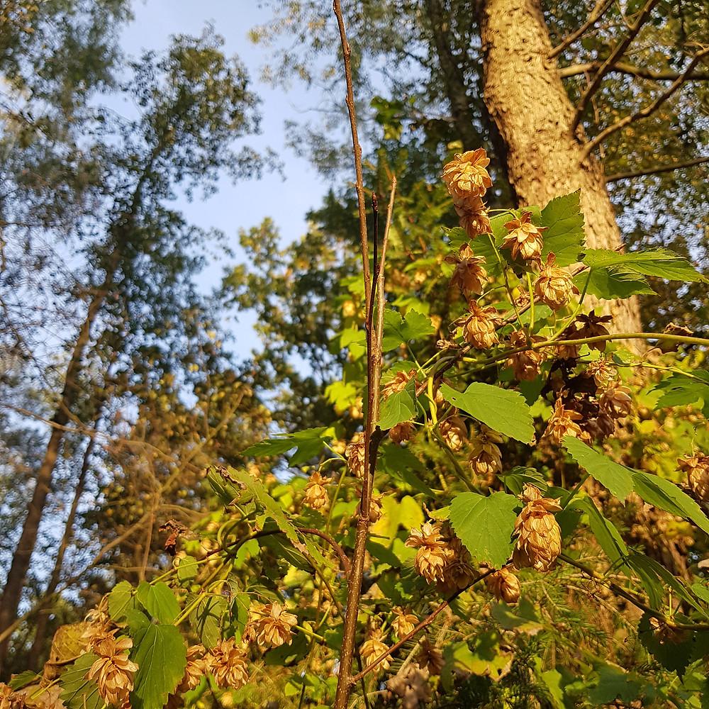 chmiel w lesie