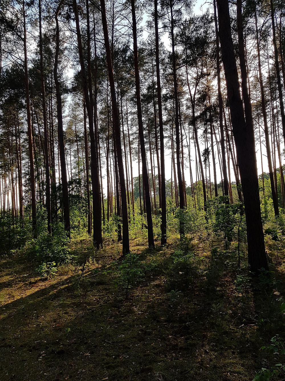 letni wieczór w lesie