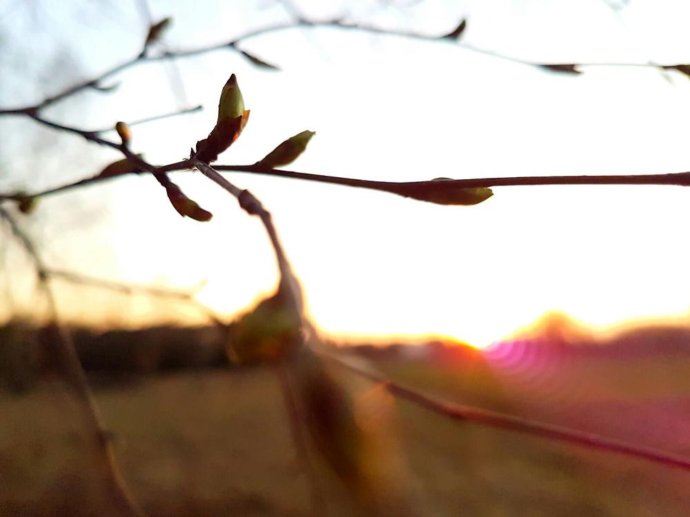 pąki na drzewach