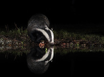 2019RFNHM_PDI_146 - Badger Drinking by Vivienne Beck. Commended