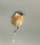 'Male stonechat' by Vivienne Beck