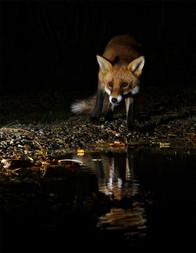 2019RFNHM_PDI_032 - Young Fox by Vivienne Beck.