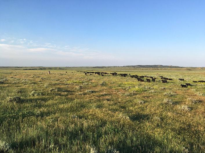 Moving Cattle.jpg