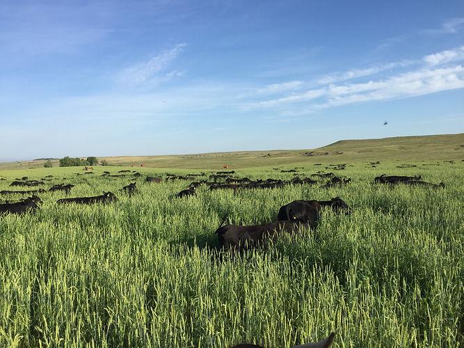 Cattle Wilow Creek.jpg
