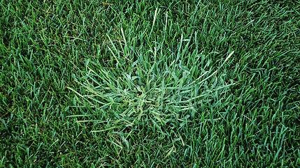 Crab-Grass-1280.jpg