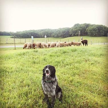 25 sheep and 1 llama and Crocket the ter