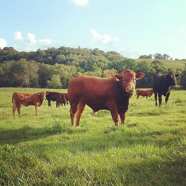 We really love this yearling #limousin b
