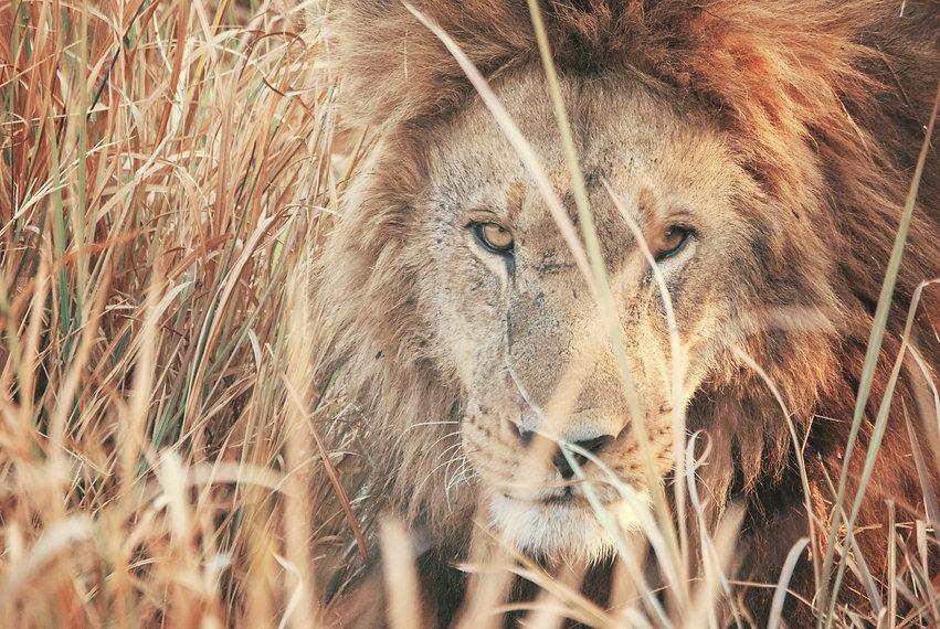 lion-tobias-adam.jpg