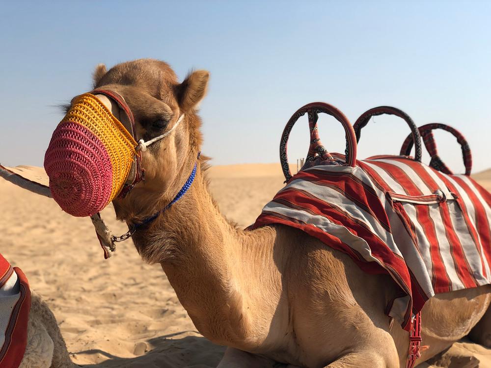 Camello en el desierto de Sharjah