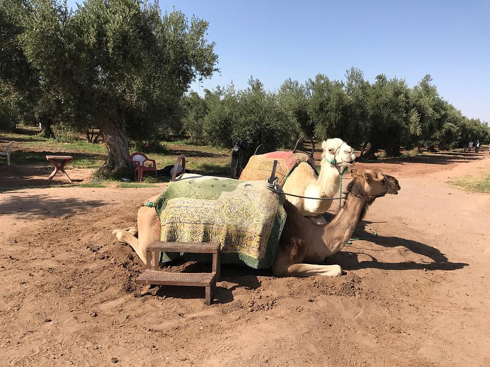 Dos camellos son utilizados por los turistas para moverse por los jardines Menara