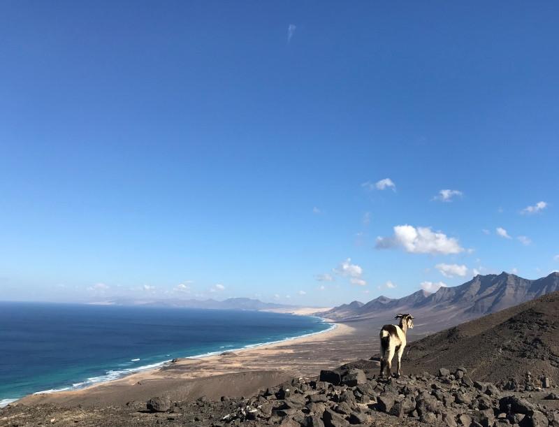 Cabra en la playa de Cofete en Fuerteventura