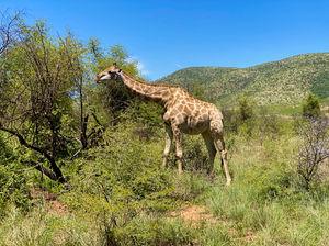 Girafa africana en Pilanesberg