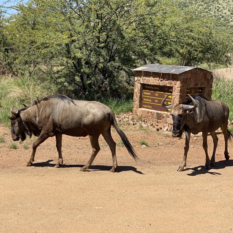 Ñus en Pilanesberg